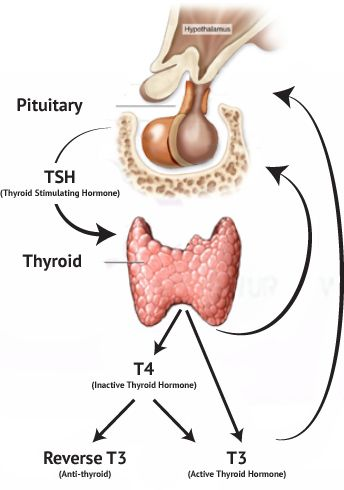 Why Are We Asking About The Thyroid Gland And Thyroid Function